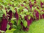 Pěstování této plodiny bylo zakázáno! Zná ji celý svět a je pýchou Slovanů. Znáte ji?