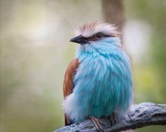 """Racquet Tailed Roller by Doris Rapp  """"This colorful racquet-tailed roller is one of the native African birds featured in the aviary of the Expedition Congo: African Forest section of the Columbus Zoo and Aquarium located in Columbus, Ohio."""""""