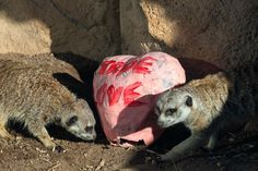 Cheyenne Mountain Zoo, Ferret, Animals, Animales, Animaux, Ferrets, Animal, Animais, European Polecat
