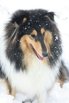 Beautiful Rough Collie with the right coat for the snow