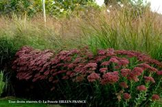 Panicum virgatum 'Warrior' avec Sedum 'Herbstfreude' Panicum virgatum 'Warrior' Panic érigé anglais switchgrass,panic grass allemand:Rutenhirse  Sélection de Kurt Bluemel