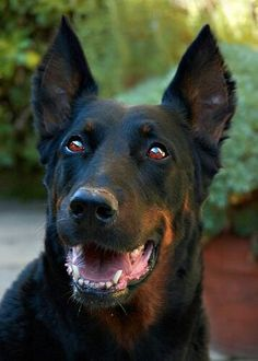 """** """" Yeah, de human poured spot remover on de other dawg and nowz he be gone. All Dogs, I Love Dogs, Animals And Pets, Cute Animals, Dog Rules, Doberman Pinscher, Border Collie, Animals Beautiful, Animal Pictures"""