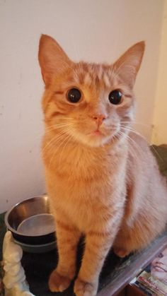 Mr. Oliver is an adoptable Domestic Short Hair (Orange) searching for a forever family near Montreal, QC. Use Petfinder to find adoptable pets in your area.
