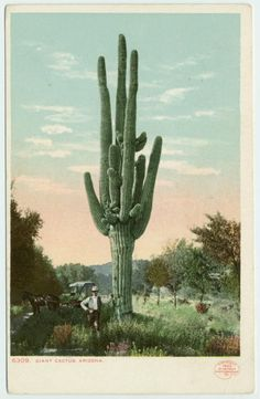 giant cactus, phoenix, arizona, 1902