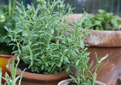 Laventelin talvetus | Meillä kotona Herbs, Plants, Herb, Plant, Planets, Medicinal Plants