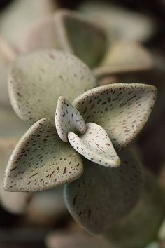 Succulent Plant Information: Lenophyllum guttatum