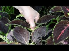 how to prune coleus plants -  Yahoo Video Search Results