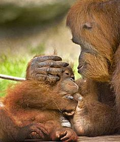 Baby Orangutans enchant their moms just as much as human babies do their moms.