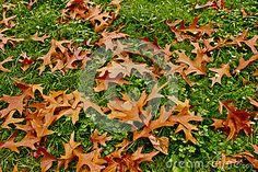 Fallen Autumn Leaves On The Green Grass. Stock Image - Image of field, nature: 78949297 Green Grass, Autumn Leaves, Stock Photos, Seasons, Fall, Nature, Image, Color, Autumn