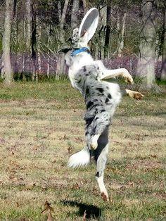 What a nice picture of a Border Collie in action! I hope that Quick will love frisbee just as much as this dog does!!