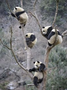 family trees, bears, creatur, natur, baby animals, families, panda tree, pandas, thing