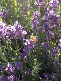 Lavender + bees = LOVE