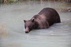 Alaska - weltreisewelt Indian Summer, Alaska, Fjord, Black Bear, Animals, National Forest, Travel, Animales, American Black Bear