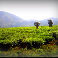 Tea fields in Uganda Africa.    - Rebecca Henthorn