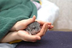 Chinchillas | A Definitive Ranking Of The Cutest Baby Animals. NOT DEFINITIVE NOT AT ALL. Chinchillas are more adorable than ANYTHING!!