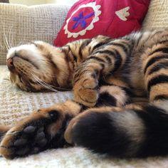 Pippa the Toyger Toyger Cat, Neko, Cats, Funny, Animals, Friends, Amigos, Gatos, Animales