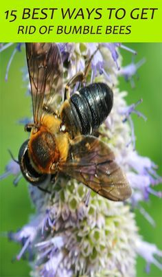 15 Natural Ways To Get Rid Of Bumble Bees Bee Bee Keeping Bee Hive Plans