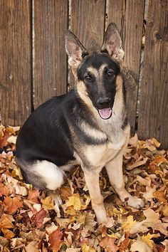 German Shepherd in the leaves #dog #shepherd #animal #german