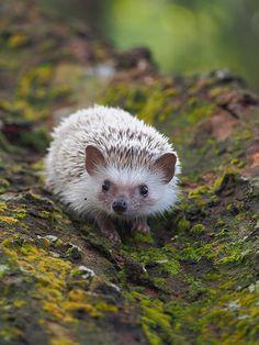 intotheclearing: Burger The Hedgehog (par Jasonmon) Forest Animals, Nature Animals, Woodland Animals, Animals And Pets, Nocturnal Animals, Wild Animals, Woodland Forest, Wildlife Nature, Safari Animals
