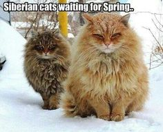 Siberian cats waiting for Spring....