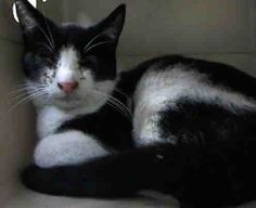 Oreo A1036466 ***TO BE DESTROYED 05/21/15 ** Brooklyn Center ** SWEET KITTY WITH FRACTURE!! * Oreo is displaying behavior appropriate for new or experienced cat parents. Poor guy must be uncomfortable but is still a total sweetheart! *   My name is OREO. My Animal ID # is A1036466. I am a male black and white domestic sh. I am about 2.  I came in the shelter as a STRAY on 05/15/2015 from NY 11209