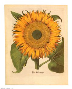 sunflower poster... I use to have this one