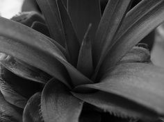 Pineapple Foliage in black and white Photo by A. Saldaña -- National Geographic Your Shot