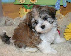cute havanese puppies - Google Search