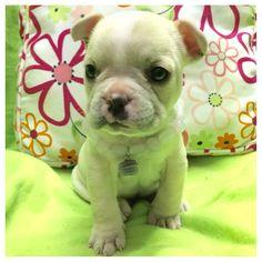 Mi hermosa Dominica! Bulldog Frances