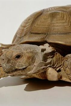 How to Tell the Gender of Baby Sulcata Tortoises Baby Tortoise, Sulcata Tortoise, Tortoise Care, Gender Determination, Tortoises, Baby Gender, Health Care, African, Pets