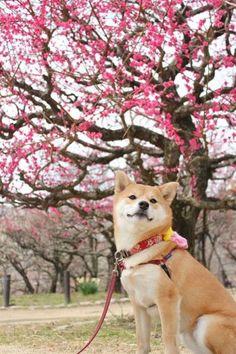 Sakura blossom tree and a Shiba Inu. :) I love those dogs, they're pretty.: