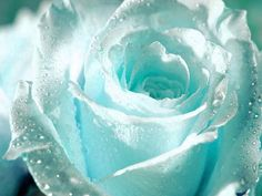 Romantic white rose with raindrops