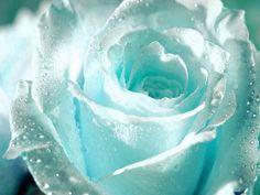 Romantic white rose with raindrops
