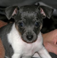 Look who I found on Pinterest? It's my Rattie, Angus, when he was just a pup. I love him so much!  Toy Rat Terrier by AnnieHowes, via Flickr