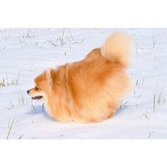2017.01.03 . . そうそう 忘れておりました . コレが シャチホコになり… きれないしずくの #シャチホコスタイル 飛行犬を撮ろうとすると 結局、 ☝︎コレになってしまうのですw . それに シャチホコって 空想の生き物だったんですね 今までずーっと 魚だと思っていました 今更ながら常識がないって恥ずかしいw . Do I look like a Japanese specialty shitifoco :] ? . . #japan #pompomしずく #pom #ポメラニアン #Pomeranian #pomstagram #Pomeranianlove  #わんすたぐらむ  #dogstagram #doglover # #犬バカ部  #親バカ部 #わんだフォ #いぬすたぐらむ  #犬 #愛犬 #犬との暮らし #犬好きな人と繋がりたい #雪国 #雪 #snow #シャチホコ #雪国仕様のトリミング #❄️ #⛄️ #ふわもこ部 #空想の生き物 #なりきれない姿
