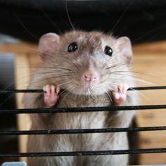 PiggieLuv: Sunday is rattie fun day!