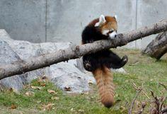 Red Panda at the Calgary Zoo
