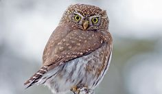 Northern Pygmy Owl Facts: Animals of North America