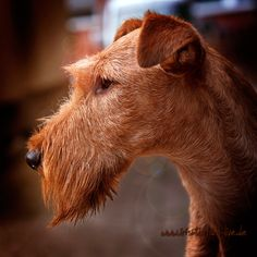 Morgen ist ZZL Photo & image by fotoARTstudio ᐅ View and rate this photo free at fotocommunity. Discover more images here. Fox Terriers, Wire Fox Terrier, Scottish Deerhound, Irish Terrier, Irish Wolfhound, Famous Stars, Irish Setter, Foto Art, Studio
