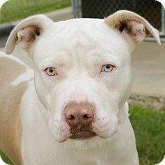 McKinney, TX - Pit Bull Terrier Mix. Meet Snow a Dog for Adoption. those eyes!!!!