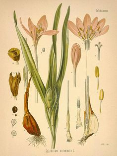 Stock Photo - Meadow saffron or wild saffron, Colchicum autumnale. Chromolithograph after a botanical illustration by Walther Muller from Hermann Adolph Koehler's Medicinal Plants, edited by Antique Illustration, Plant Illustration, Botanical Illustration, Botanical Drawings, Botanical Prints, Wall Art Prints, Fine Art Prints, Saffron Flower, Missouri Botanical Garden