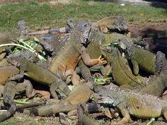 Iguana Park, Guayaquil, Ecuador