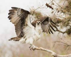 Osprey Out On A Limb - Photo by georgia wilson - (Blue Cypress Lake in Florida where hundreds of Osprey nest each year.)