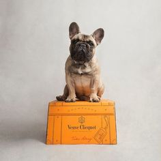 French Bulldog & Champagne