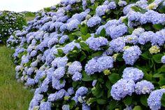 Há muito poucas plantas, flores e animais genuinamente azuis na natureza. Por essa razão, é particularmente especial quando encontramos exemplos como estes... Hydrangea Macrophylla, Green, Plants, Garden, Victorian Gardens, Growing, Portuguese Culture, Food Culture, Nature
