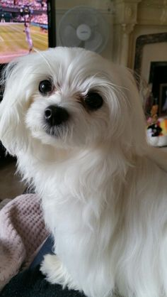 My #Maltese baby