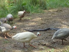 Circling the prey...  #guinea fowl  #guinea  #black rat snake