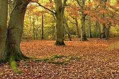 Burnham Beeches, Buckinghamshire Happy Faces, Burnham, Autumn, Fall, Forests, Woods, Beautiful Places, Landscapes, British