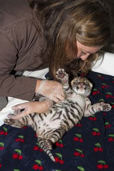A single male Sumatran Tiger cub was born at 1:54 a.m. Sept. 14, at the San Diego Zoo Safari Park's Tull Family Tiger Trail, to first-time parents Teddy and Joanne.