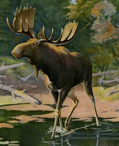 """Adirondack Moose Print by Oliver Kemp - Moose Wall Art - Antique Lithograph C.1900 - Matted 11x14"""" by AntiquePrintBoutique on Etsy"""